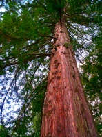 Redwood Reaching