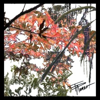 Today's Art Print: Japanese Maples'
