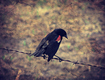 Title: Red Winged Blackbird