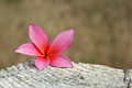Title: Plumeria On Wood